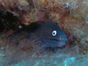Подводные фото Канар - мурена Августа