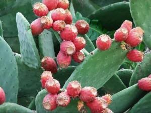 фото кактусы Канарских островов