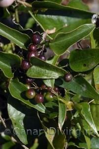 растения Канарских островов