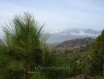 Сосны Ла Пальмы